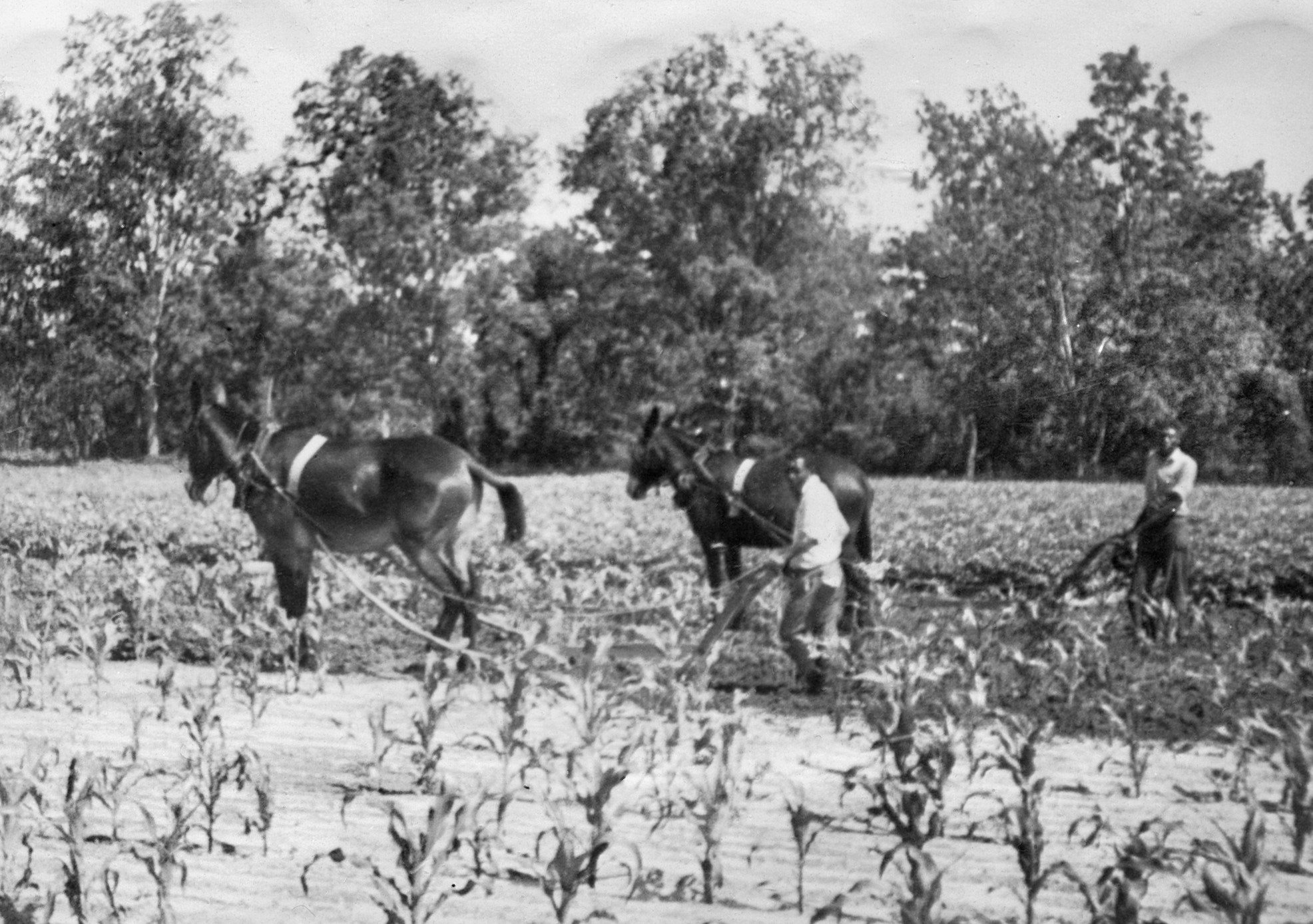 Boone Hall Plantation:  Horses and men working out in the fields